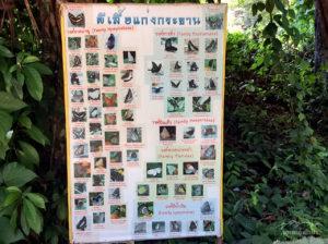 มีผีเสื้อหลาหลายพันธุ์ บ้านกร่างแคมป์ อุทยานแห่งชาติแก่งกระจาน 62