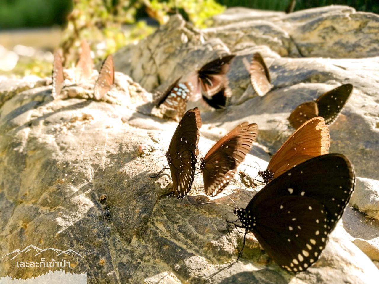 มีหลายพันธุ์ โป่งลึก อช แก่งกระจาน เพชรบุรี